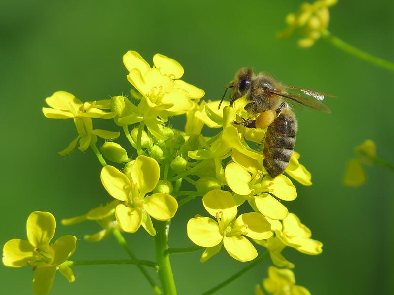 Свербига восточная пыльценос