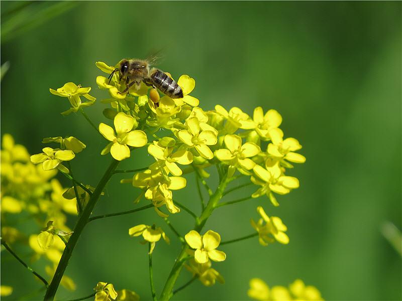 Пчела на соцветии свербиги