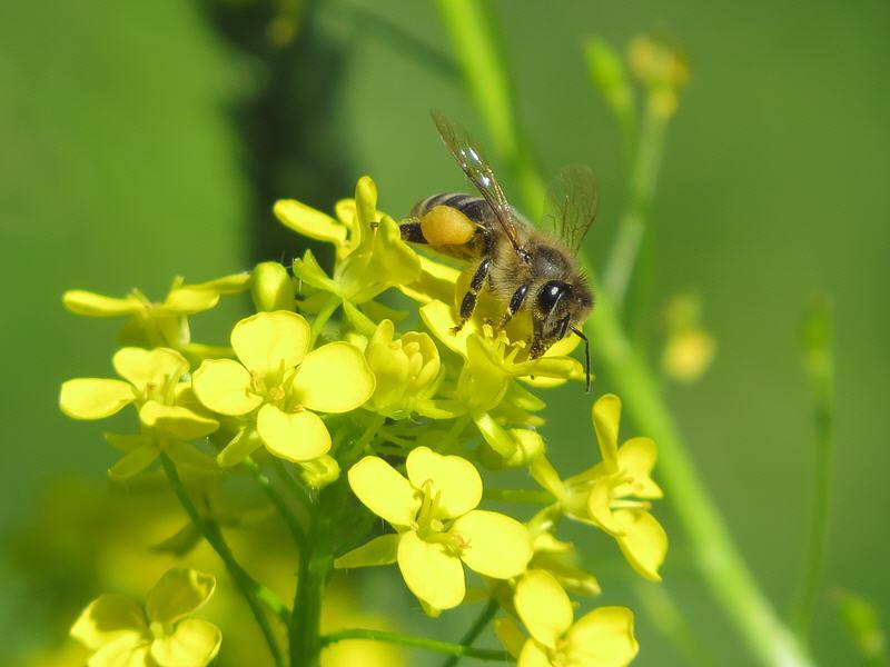 Свербига восточная и пчела