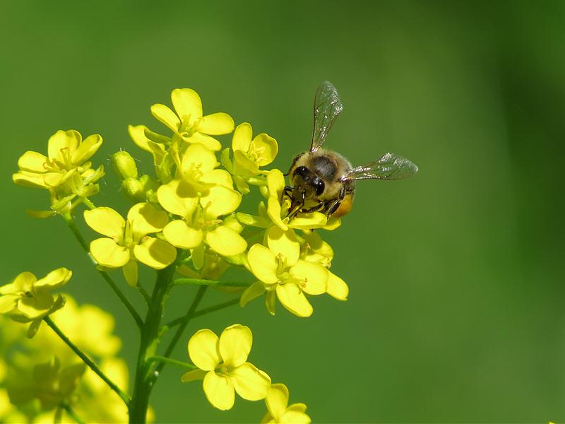 Пчела на цветке свербиги восточной