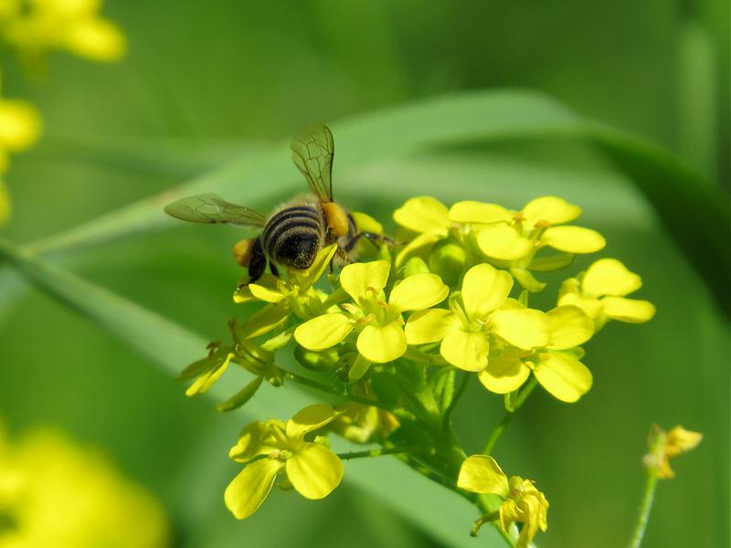 Пчела с обножкой на цветке