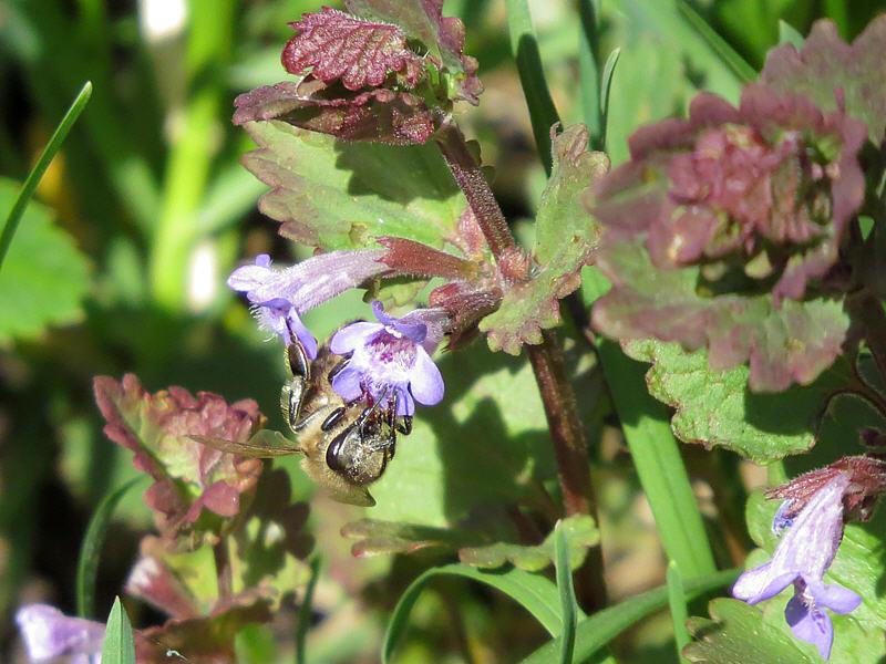 Пчела на цветке будры