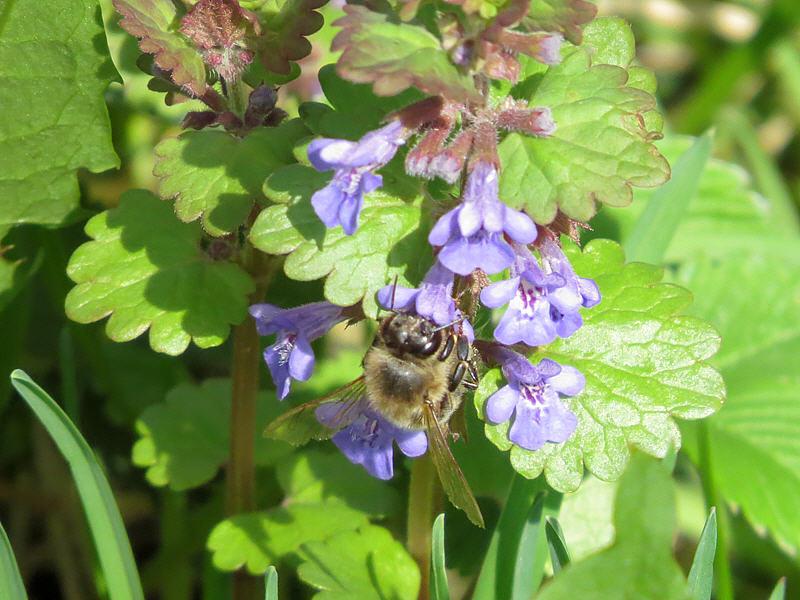Пчела на цветках будры плющевидной