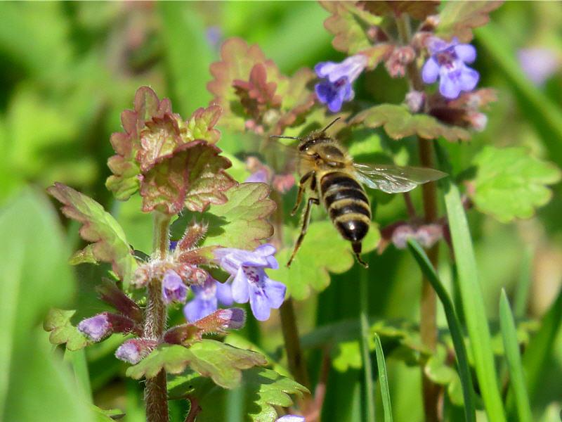 Пчела выбирает цветок будры
