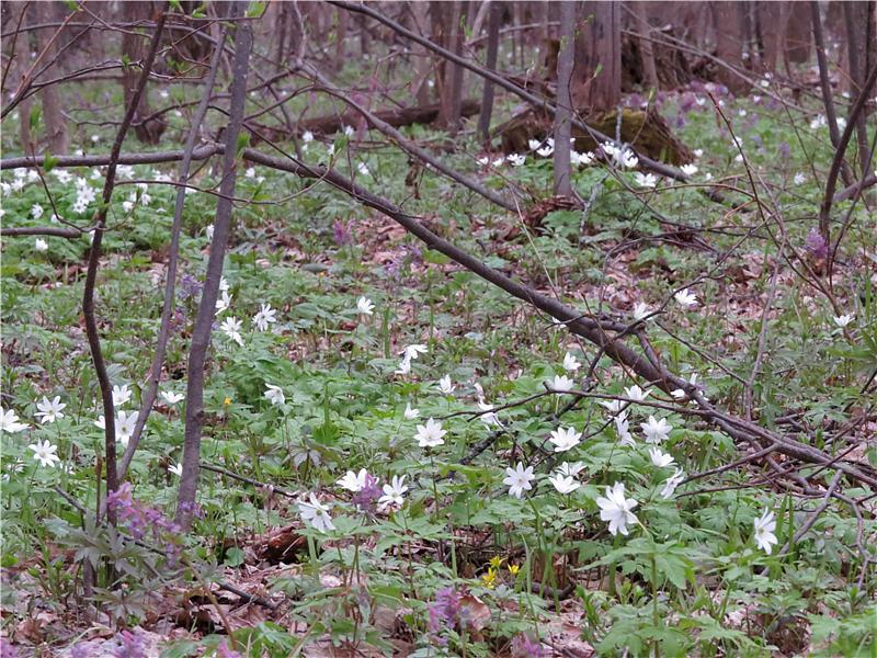 Ветреница алтайская в лесу