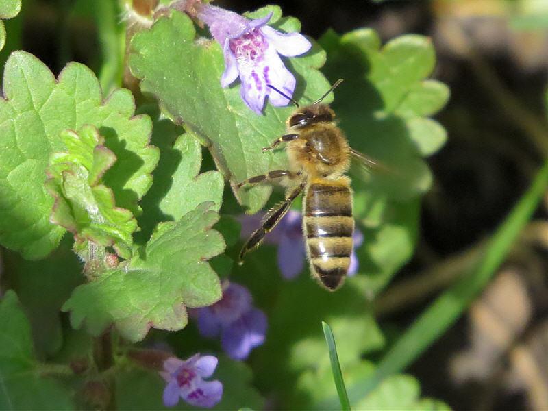 Фотография цветок будры и пчела