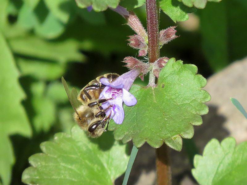 Пчела и цветок будры