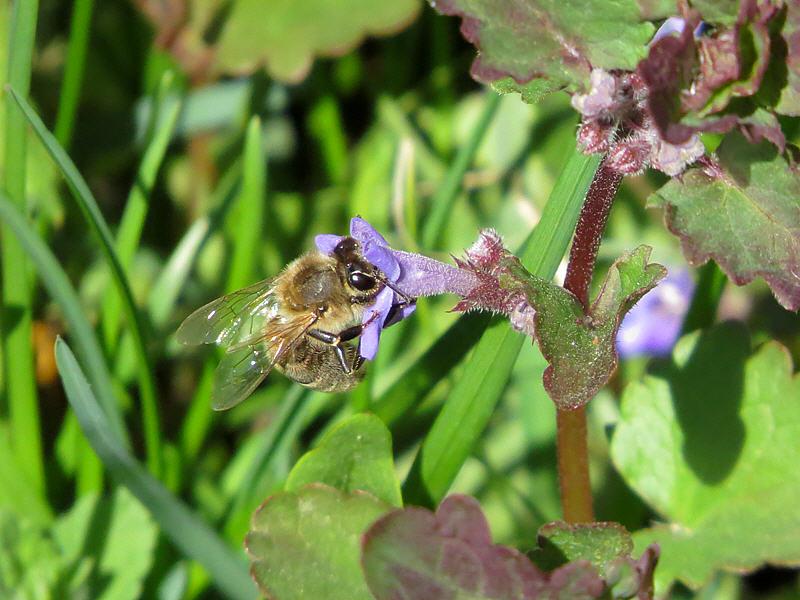 Сбор нектара с цветка будры