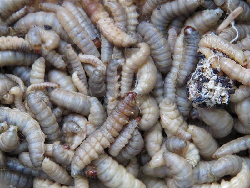 Гусеницы большой восковой моли