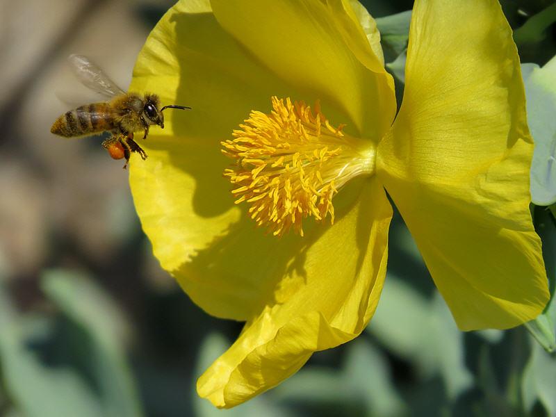 Пчела на цветке мачка жёлтого
