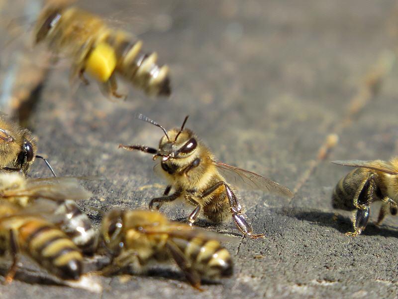Сторожевая пчела