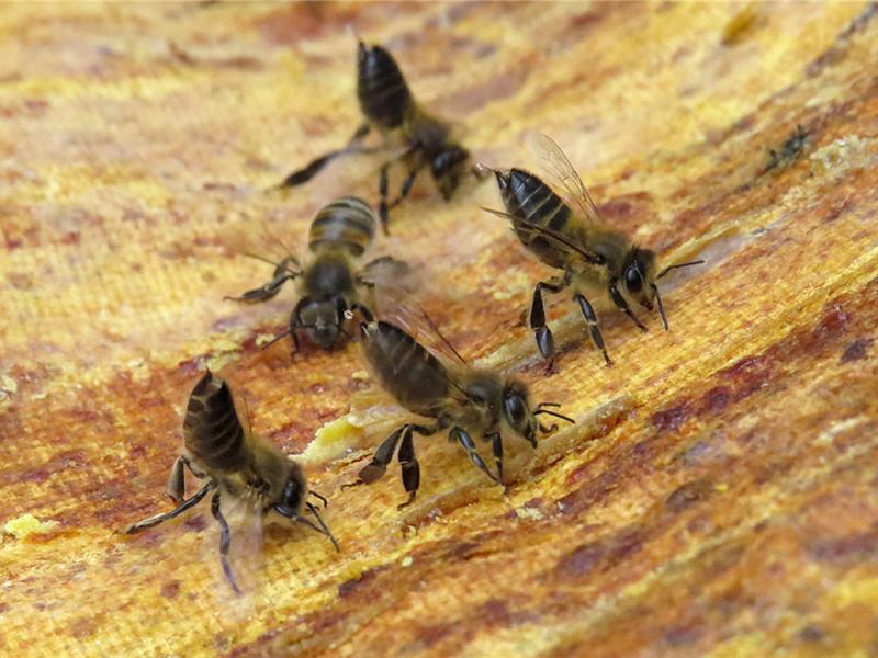Как пчелы охраняют улей