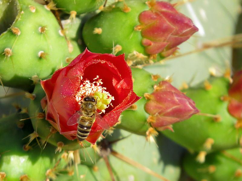 Пчёлы на цветках кактуса Опунции Бергера