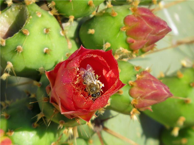 Опунция Бергера и пчела