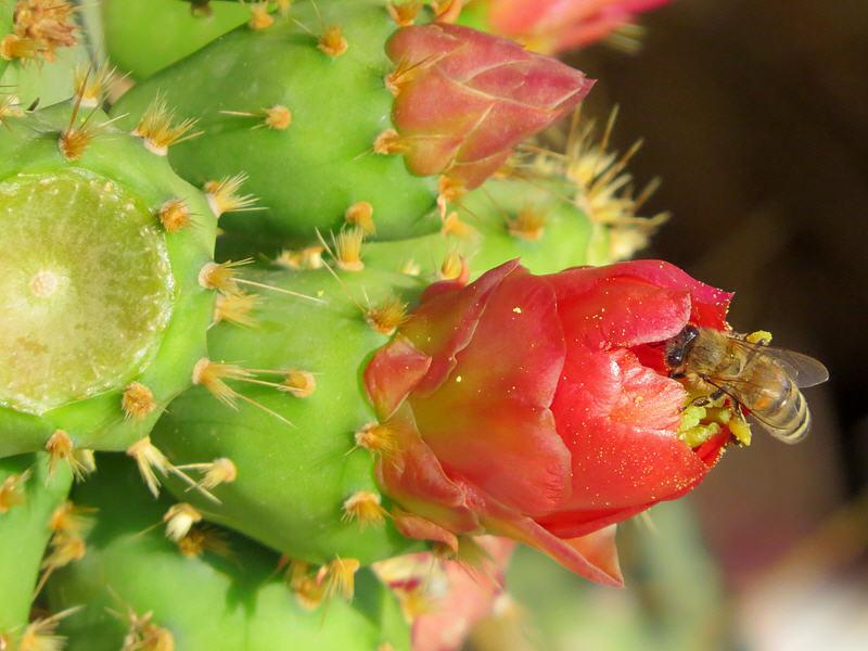 Пчела на цветке Опунции Бергера