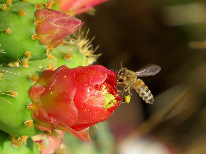 Медоносная пчела на цветке кактуса