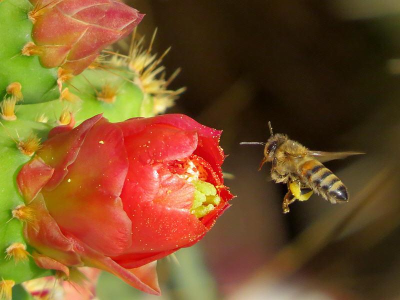 Пчела летит к цветку