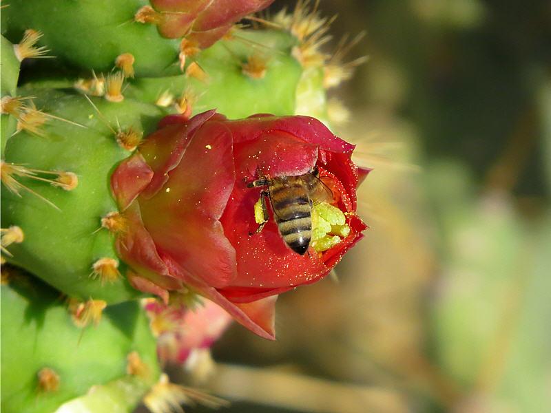 Пчела на цветке кактуса
