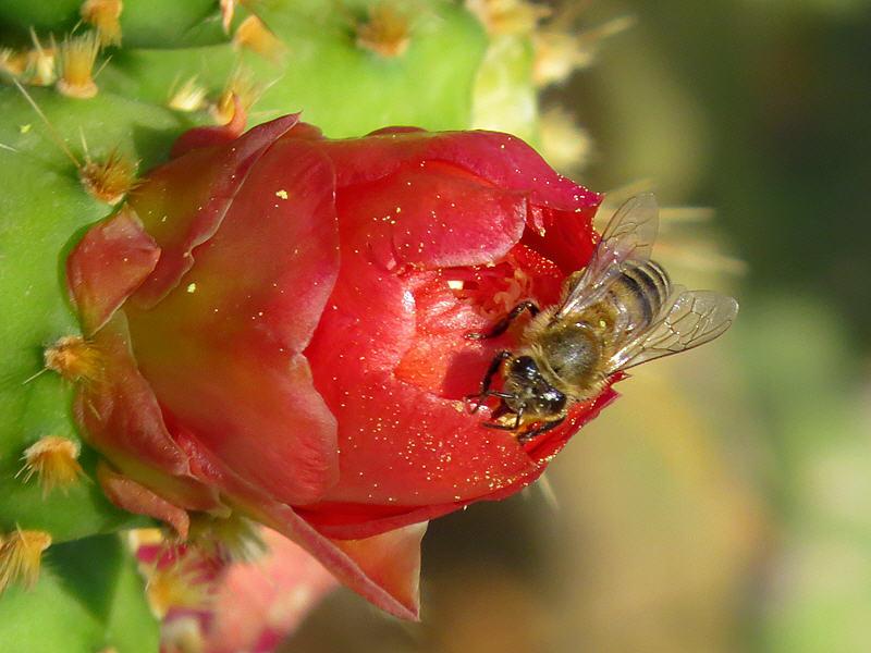 Цветок кактуса Опунция и пчела